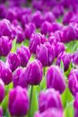 Kvetoucí fialové tulipány