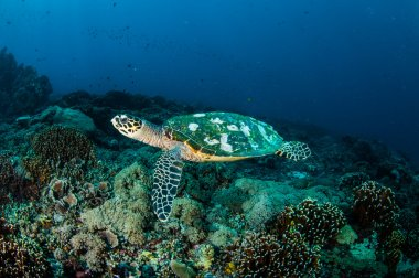 Hawksbill Sea Turtle swimming around the coral reefs in Gili, Lombok, Nusa Tenggara Barat, Indonesia underwater photo