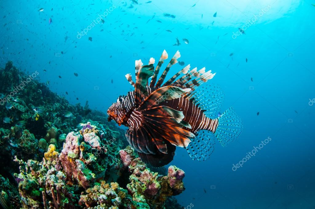 Common Lionfish swimming above coral reefs in Gili, Lombok, Nusa Tenggara Barat, Indonesia underwater photo