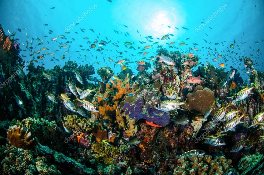 Various coral fishes, squirrelfish swim above coral reefs in Gili Lombok Nusa Tenggara Barat Indonesia underwater photo