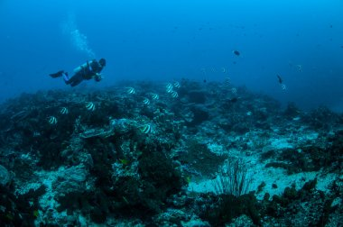 Diver and group of longfin bannerfish swimming in Gili, Lombok, Nusa Tenggara Barat, Indonesia underwater photo