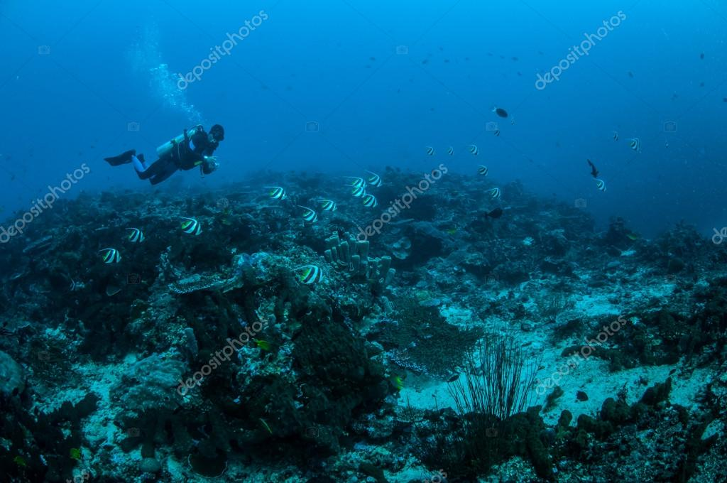 Diver and group of longfin bannerfish swimming in Gili, Lombok, Nusa Tenggara Barat, Indonesia underwater photo