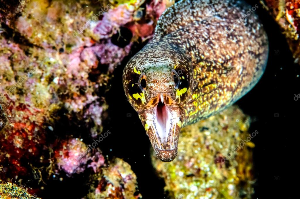 Moray eel in Banda, Indonesia underwater photo
