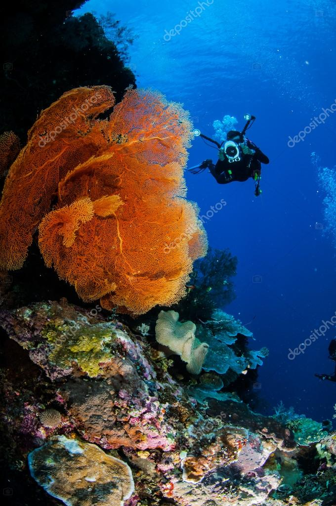 Diver and sea fan Melithaea in Banda, Indonesia underwater photo