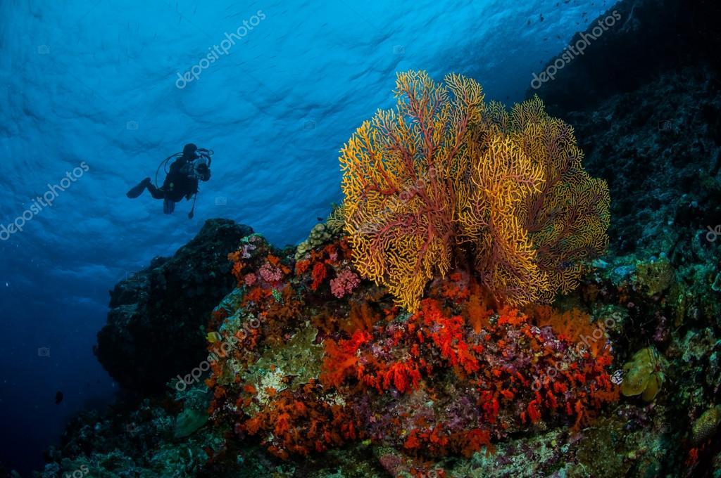Diver, sea fan Subergorgia mollis in Banda, Indonesia underwater photo