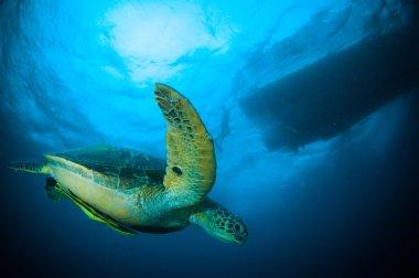 Sea turtle swimming bunaken sulawesi indonesia mydas chelonia underwater photo