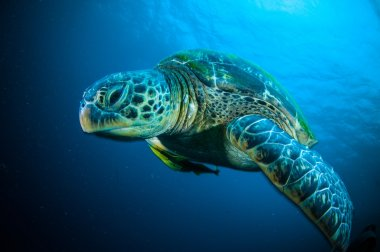 Sea turtle on coral bunaken sulawesi indonesia mydas chelonia underwater photo