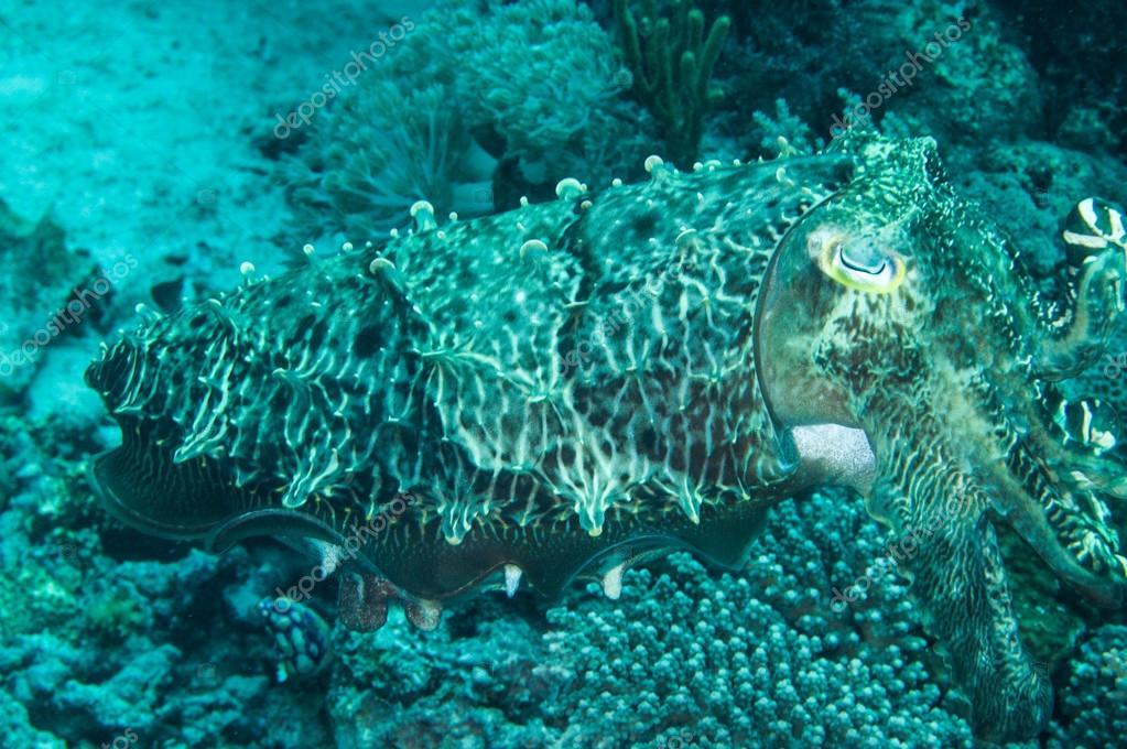 Broadclub cuttlefish sefia latimanus kapoposang indonesia scuba diving diver