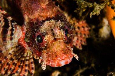 Scuba diving lembeh strait indonesia shortfin lionfish
