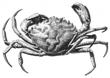 illustration with a large crab