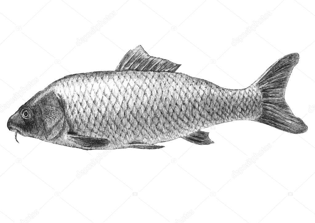 illustration with realistic carp  fish