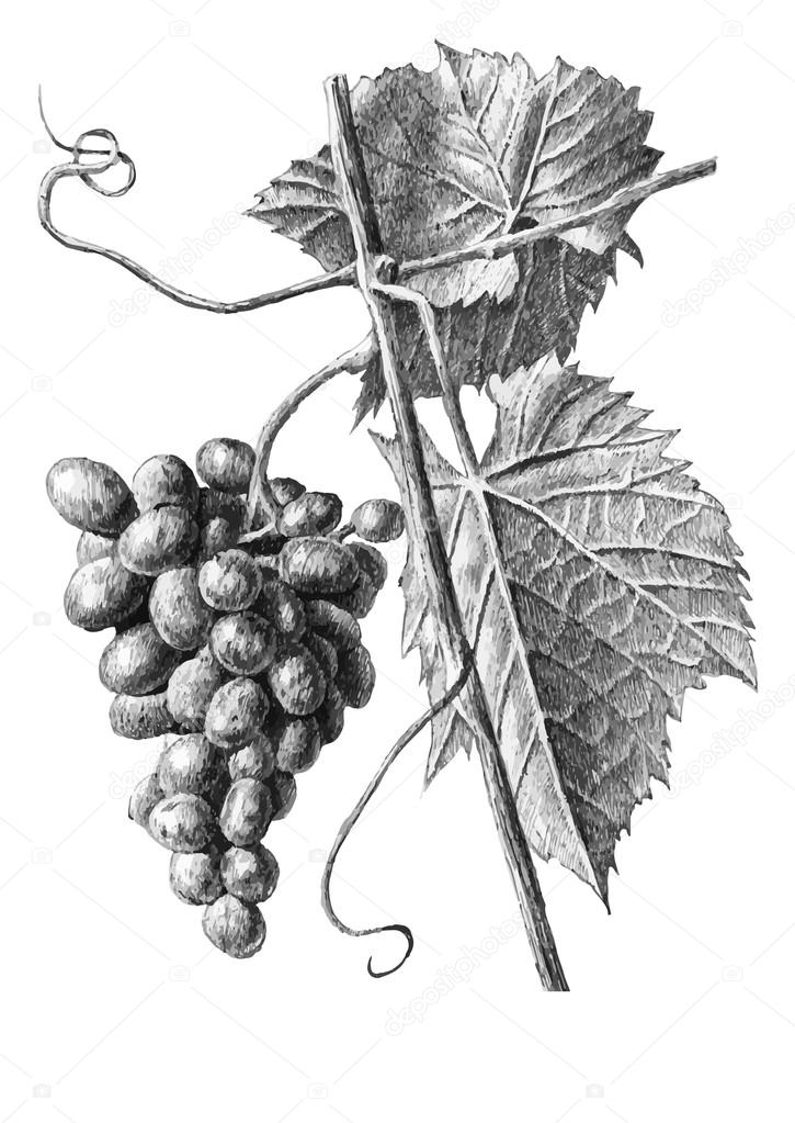 Illustration with grapes and leaves