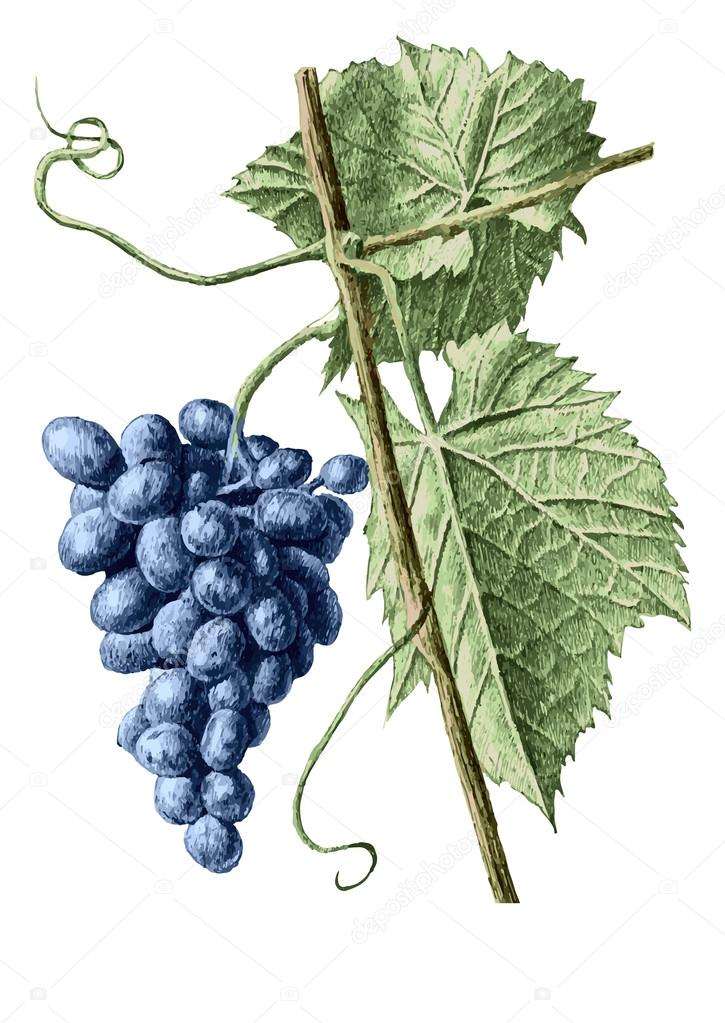 colored illustration with grapes and leaves