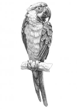 illustration with parrot