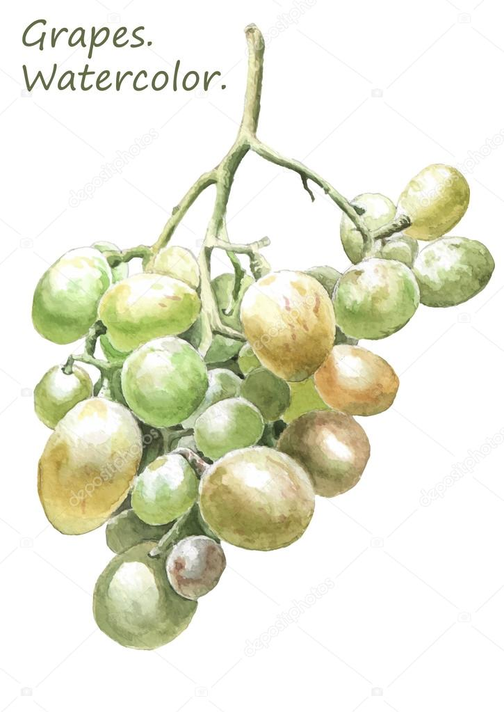 Illustration with colored grapes. Watercolor.