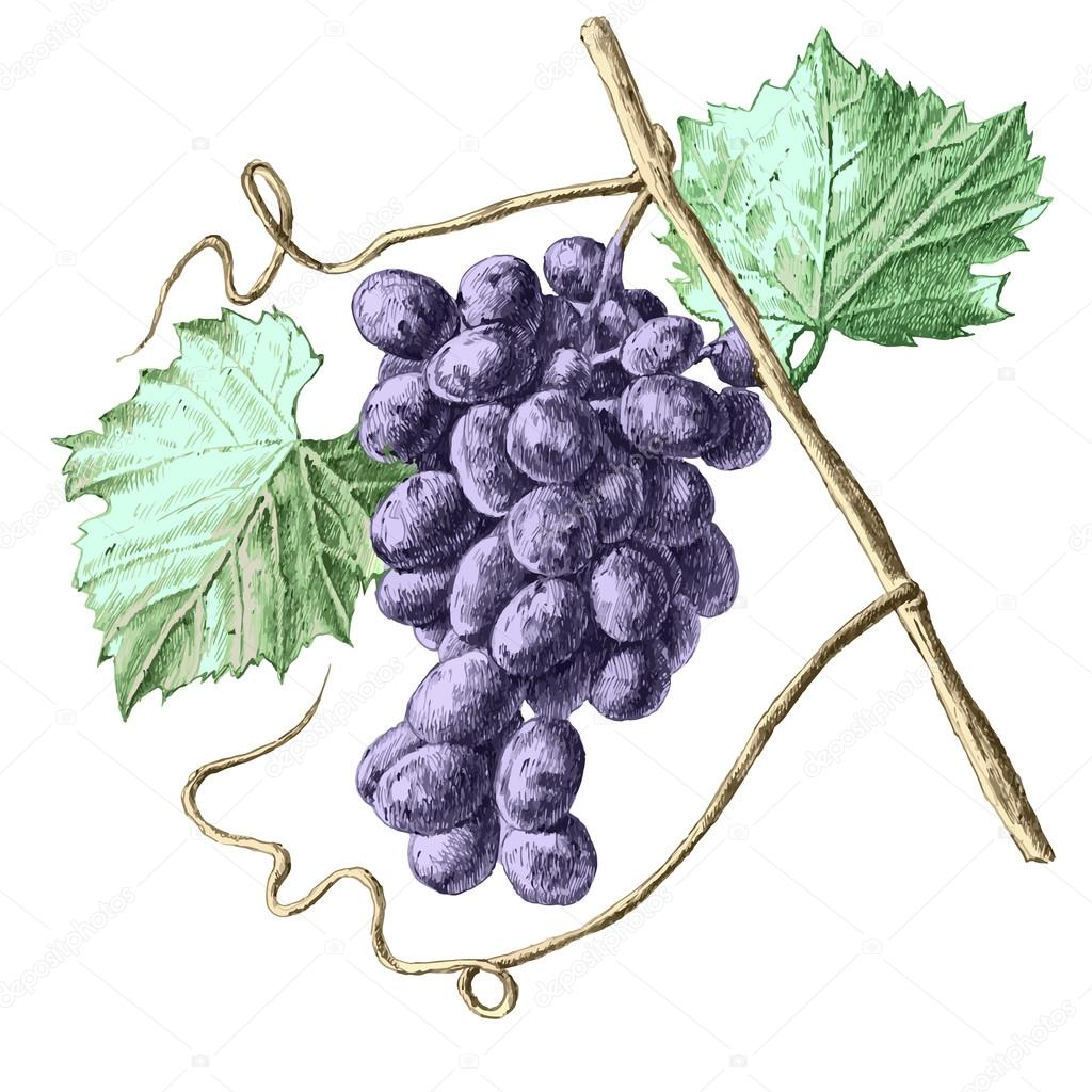 Illustration with grapes and leaves.