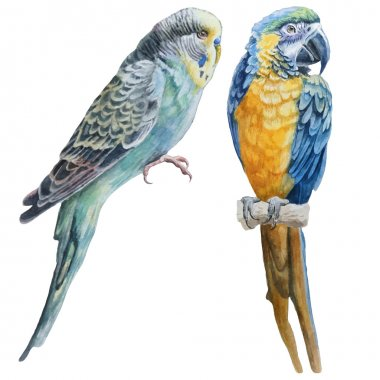 Watercolor birds.  Blue budgerigar and blue parrot macaw.
