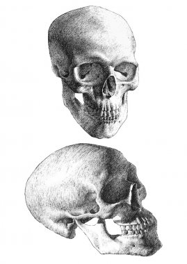 illustration with two anatomical skulls