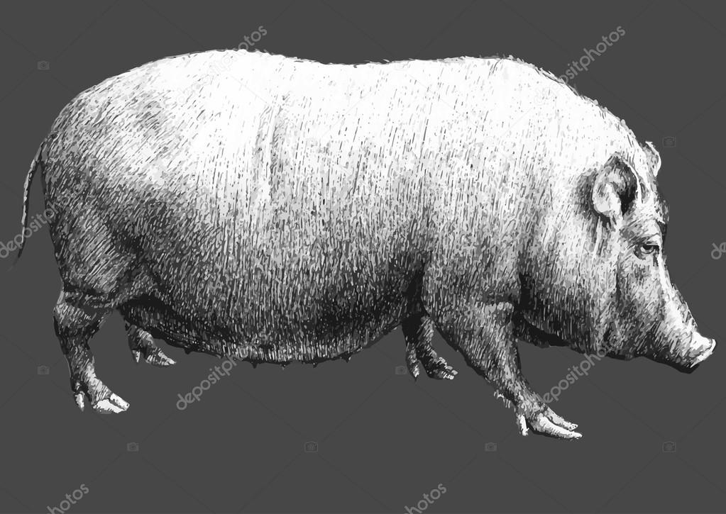 illustration with a large pig