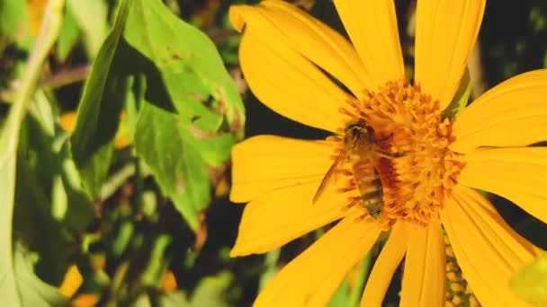 Honigbienen sammeln im Frühling Pollen an gelben Blüten. Mexikanische Sonnenblume (Tithonia diversifolia). Schöne Natur. Aus nächster Nähe. Makro. 4K-Video