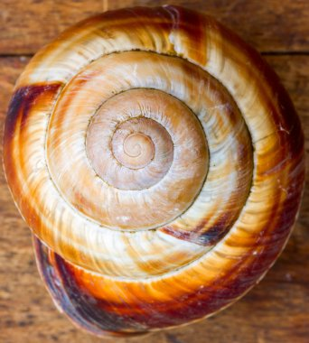 old shell spiral snail. a symbol of the golden section