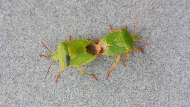 Brouci smradlavého chrobáka páření Zelený strom (Palomena) na šedém pozadí