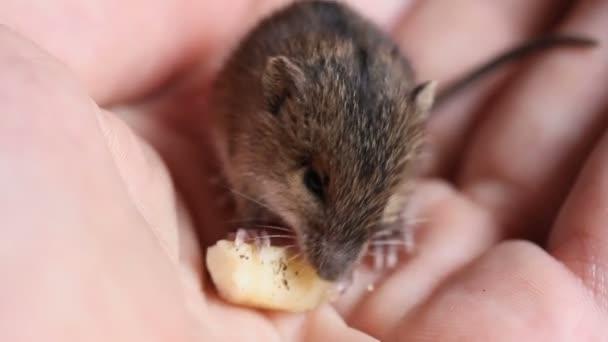 kleine süße Waldbirkenmaus (sicista betulina), die Käse auf einer menschlichen Handfläche isst