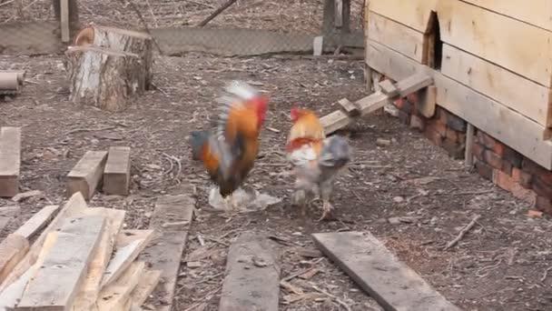 boj mezi dvěma kohouti v barnyard. koncept farmy, drůbežárny, život na venkově
