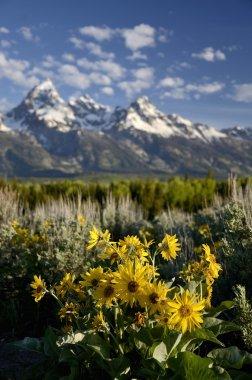 Sunflower in  Wyoming - USA