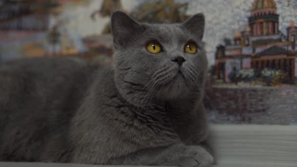 Eine schöne britische Katze liegt in der Nähe der Mauer und sucht nach Beute