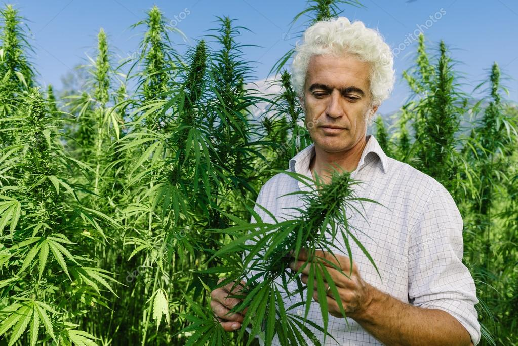 Confident entrepreneur checking hemp plants