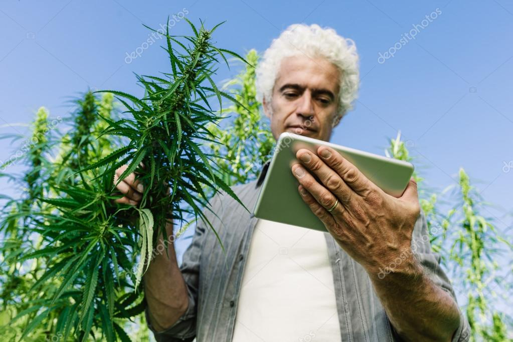 Farmer in a hemp field using a tablet