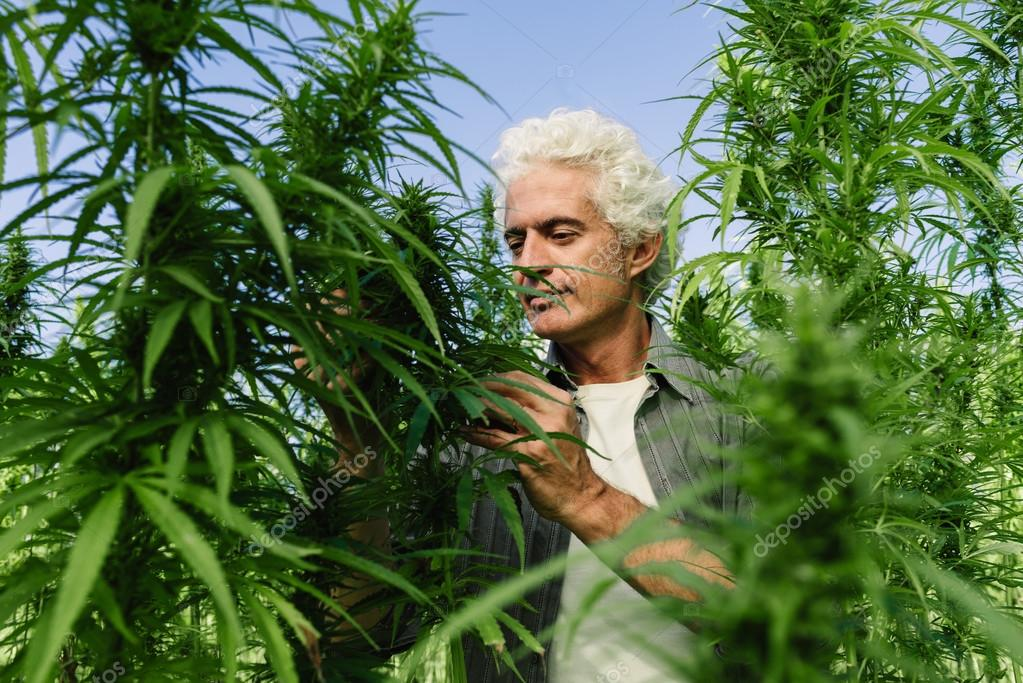 Man in a hemp field