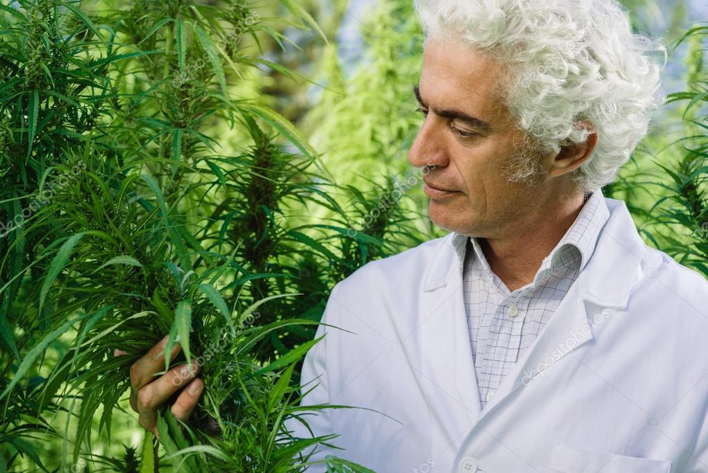 Scientist checking hemp plants
