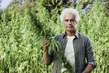 Farmer checking hemp plants
