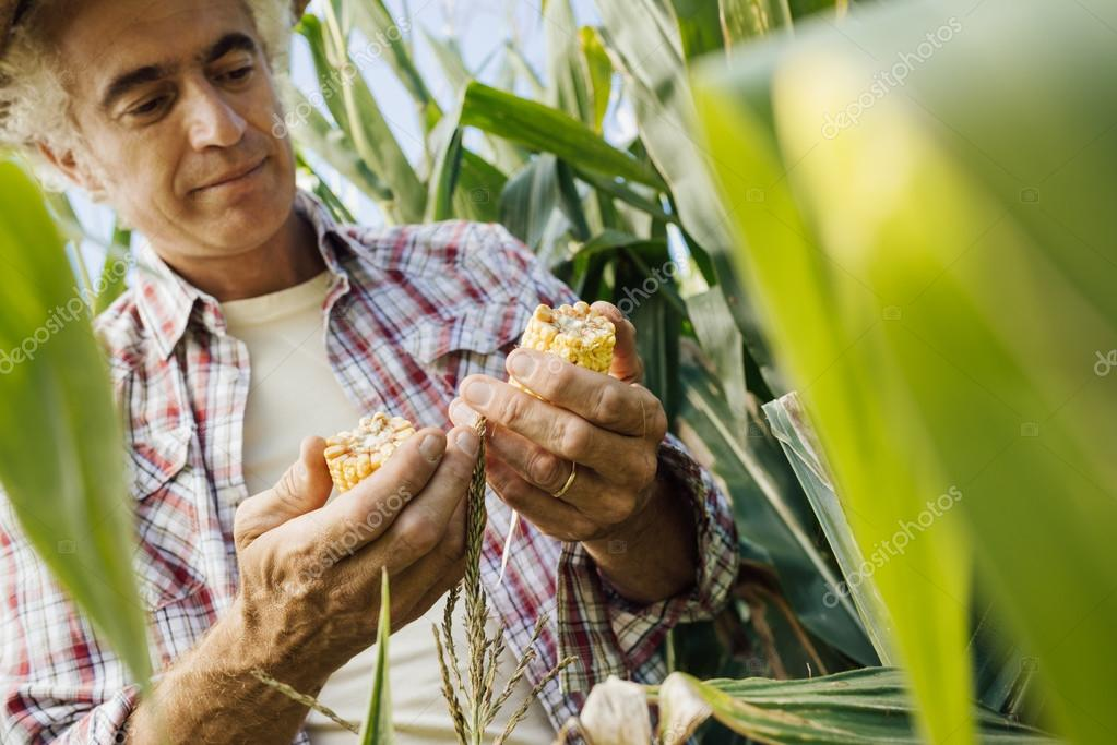 Farmer checking corn plants in the field
