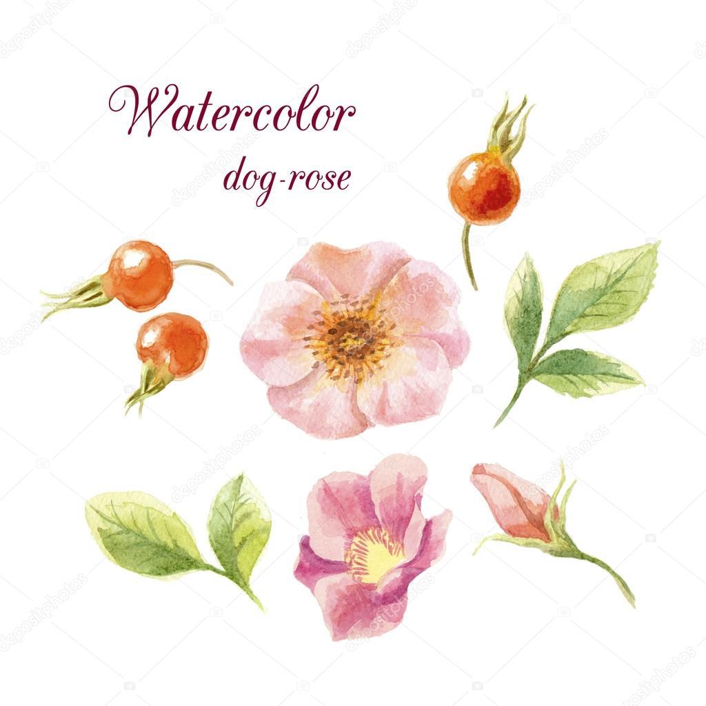 Watercolor dog-roses