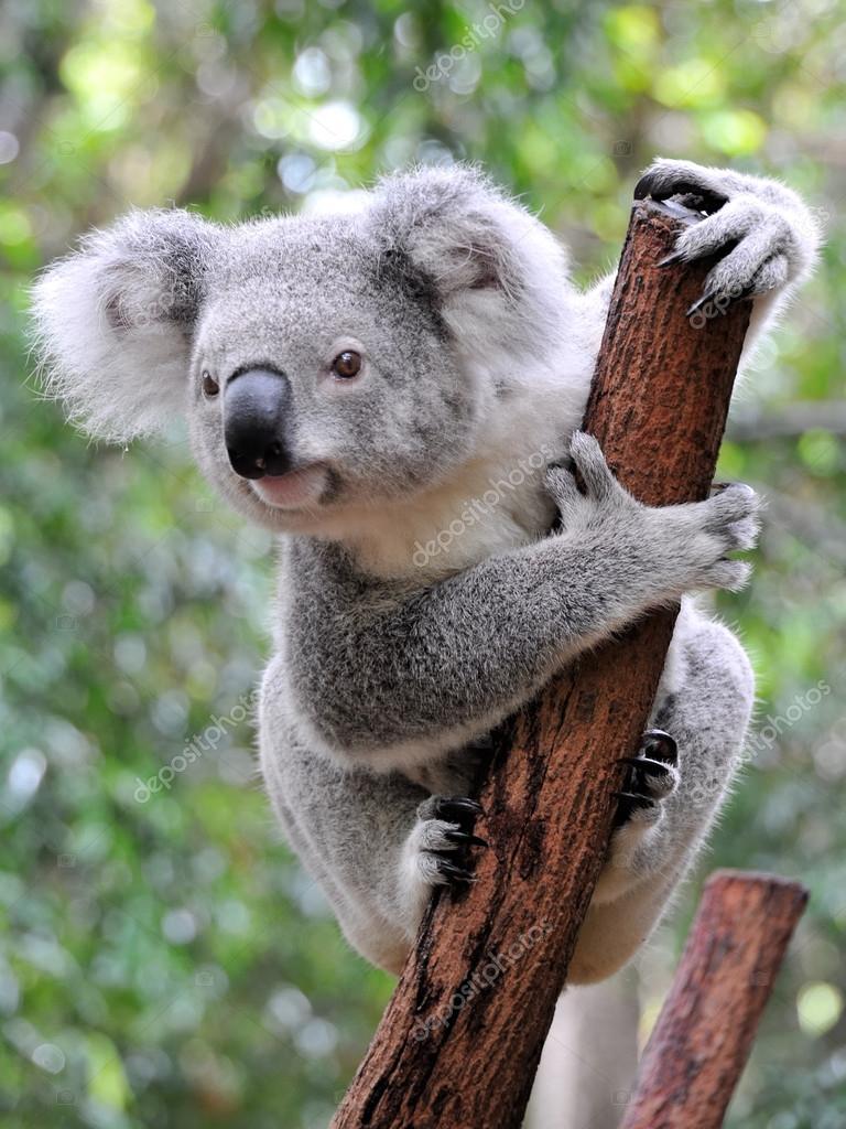 koala #hashtag
