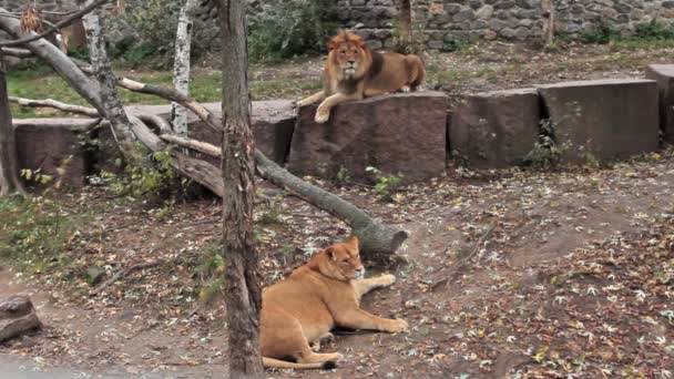 Couple Of Lions Resting