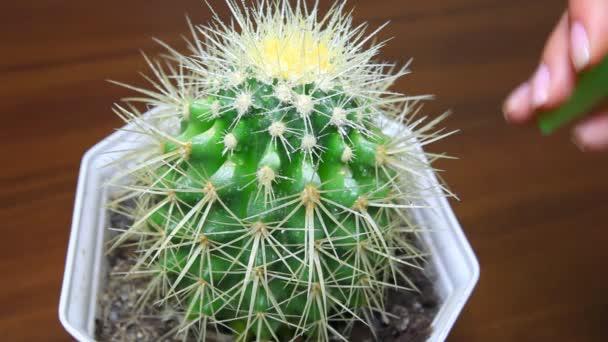 Kézzel szórni kaktusz Vértes