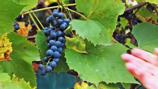 Kezét a nő összeszedi szőlő