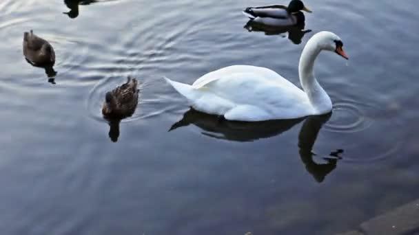 Swan Follows Duck Dives