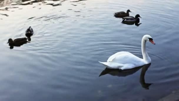 Bílá Labuť mezi divoké kachny