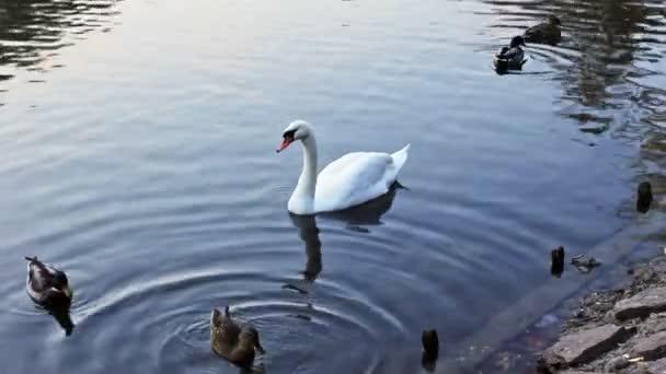 Následuje Swan mezi divoké kachny