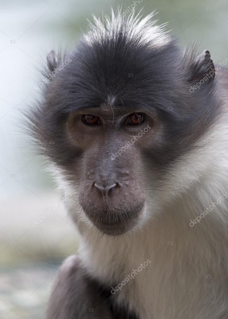 White Crowned Mangabey