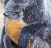 Fotografia scimmia foglia argento