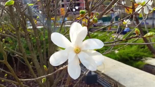 Magnólia virág fehér magnóliák virág virágok