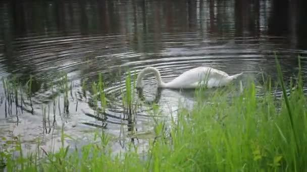 Krásná Bílá Labuť na jezeře