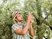 Farmář je sklizeň oliv a kontrola stavu zralosti