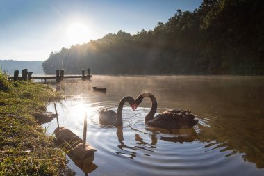 pair of swans in love floating on the water at sunrise